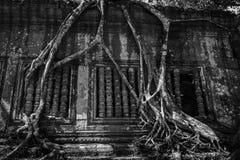 Beng Mealea - förbluffa rotar av träd Royaltyfri Bild