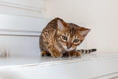 Bengaals binnenlands katje royalty-vrije stock foto's