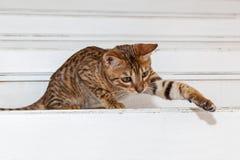 Bengaals binnenlands katje royalty-vrije stock fotografie