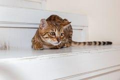 Bengaals binnenlands katje stock afbeelding