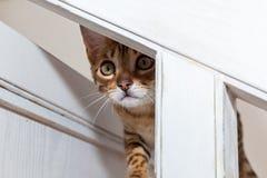 Bengaals binnenlands katje stock foto's