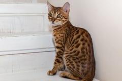 Bengaals binnenlands katje stock foto