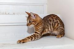 Bengaals binnenlands katje royalty-vrije stock afbeeldingen