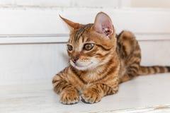 Bengaals binnenlands katje royalty-vrije stock foto