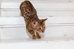 Bengaals binnenlands katje stock fotografie