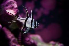 Bengai kardinal Fish royaltyfria foton