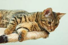 Bengal. Portrait of racial cat - bengal stock image