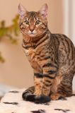 Bengal. Portrait of racial cat - bengal stock photography