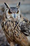 Bengal-Adler-Eule (Bubo bengalensis) Stockfotos