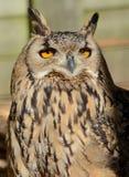 Bengal-Adler-Eule (Bubo bengalensis) Lizenzfreie Stockfotos