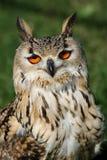 Bengal-Adler-Eulen-Portrait Lizenzfreie Stockfotos