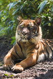 Bengal- or Asian tiger in morning Stock Image