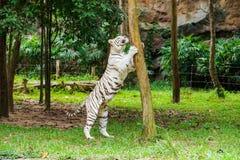 bengal biały tygrys Zdjęcie Stock