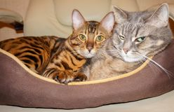 Bengal and british cats double pet portret stock photos