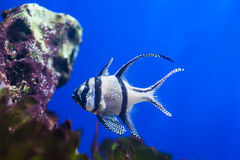 Bengal cardinal fish Royalty Free Stock Photo