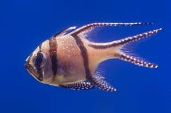 Bengal Cardinal fish Royalty Free Stock Images