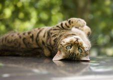 Bengal cat. Charming Bengal cat lying on his back looking at you with his piercing blue eyes Stock Photo