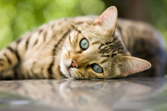Bengal cat. Charming Bengal cat relaxing and looking at you with his piercing blue eyes Stock Image