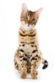 Bengal cat. On white background Stock Photo