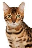 Bengal cat. Passport shot of bengal cat Royalty Free Stock Images