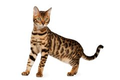 Bengal cat. On white background Stock Photography