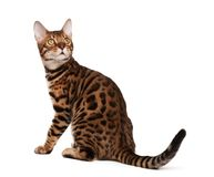Bengal cat. On white background Royalty Free Stock Photography