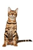 Bengal cat Stock Images