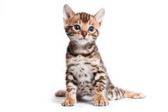 Bengal cat Stock Image