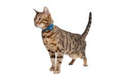 Bengal cat stock photos