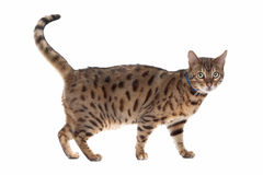 Bengal cat Royalty Free Stock Photo