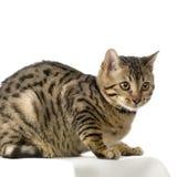 Bengal (cat) Stock Photo