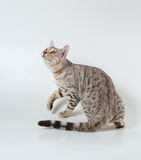 Bengal cat Stock Photography