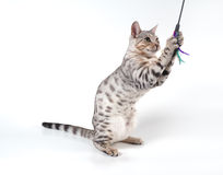 Bengal cat Royalty Free Stock Image
