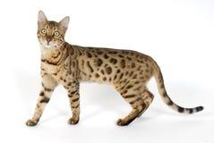 Bengal Cat. Image taken of a Bengal Cat Royalty Free Stock Photography