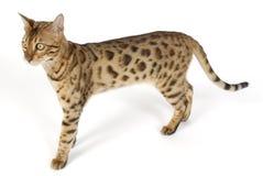 Bengal Cat. Image taken of a Bengal Cat Stock Photo