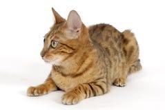 Bengal Cat. Image taken of a Bengal Cat Royalty Free Stock Photo
