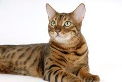 Bengal Cat. Image taken of a Bengal Cat Stock Image