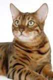 Bengal Cat. Image taken of a Bengal Cat Royalty Free Stock Image