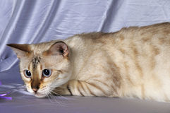 Bengal cat Stock Photo