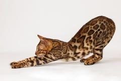 Free Bengal Cat Royalty Free Stock Image - 53216276