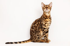Free Bengal Cat Royalty Free Stock Images - 53216929