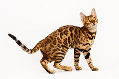 Free Bengal Cat Royalty Free Stock Photography - 53217147