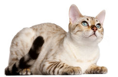 Bengal cat, 6 months old, lying Royalty Free Stock Photo