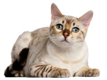 Bengal cat, 6 months old, lying Stock Photo
