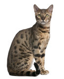 Bengal Cat, 6 months old, sitting Stock Photo