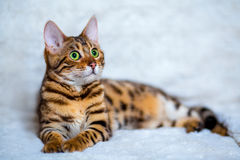Free Bengal Cat Royalty Free Stock Photography - 66415547