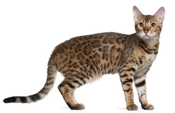 Bengal cat, 7 months old, standing Royalty Free Stock Photos