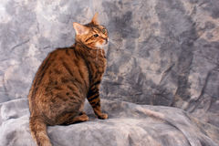 Bengal cat against grey. An adlt male bengal cat is sitting looking to the right against grey mottled background with copy space Royalty Free Stock Photography