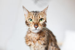 Bengal cat annoyed after bath. Bengal cat annoyed stare after bath Stock Images