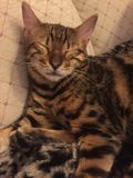 A Bengal cat asleep. A sleeping Bengal cat on a sofa Stock Photo